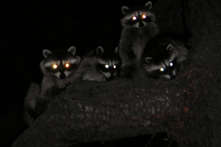 8. When Raccoons Attack!